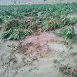 خسارت دو میلیاردی سیلاب به مزارع کشاورزی مسجدسلیمان