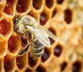 تولید بیش از ۳۰۰ تن عسل در مسجدسلیمان